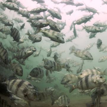 National Press Foundation link: Protecting Fish Spawning Sites